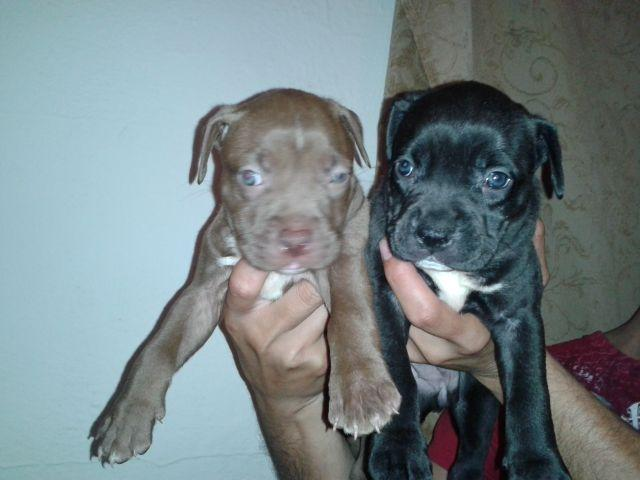 Bully pitbull puppies for Sale in Davie, Florida Classified