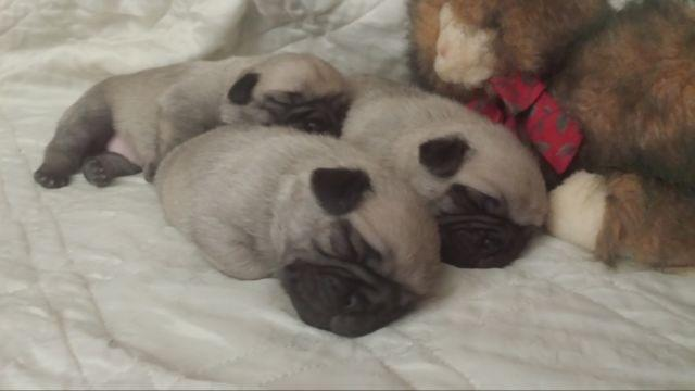 Pug Puppies For Sale In Yellville Arkansas Classified Hoodbizorg