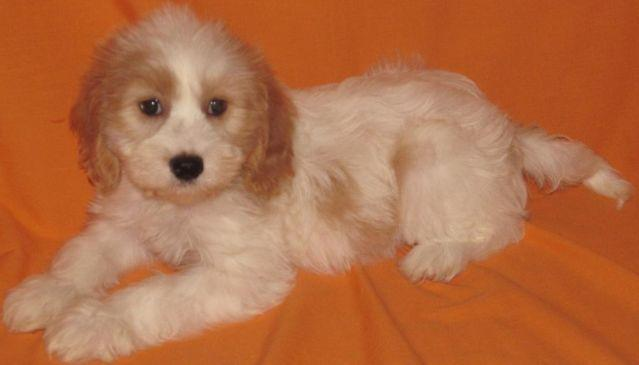 Cavapoo Puppies for Sale in Ellendale, Minnesota Classified