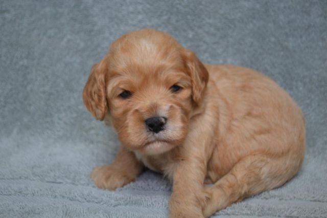 Cavapoo Puppies for Sale in Sturbridge, Massachusetts