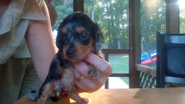 Mini Dachshund Puppies for Sale in Dosier, North Carolina Classified