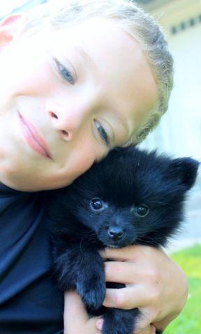 Parti Pomeranian Puppies