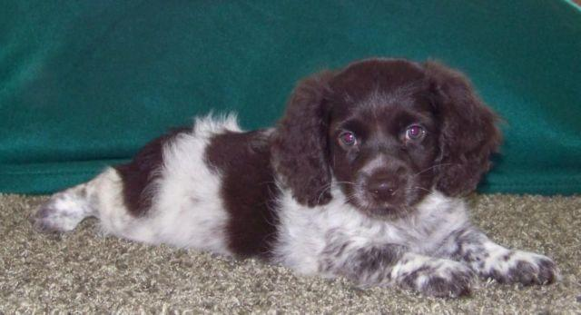 COCKAPOO PUPPIES for Sale in Mogadore, Ohio Classified | HoodBiz org
