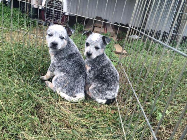 Heeler puppies