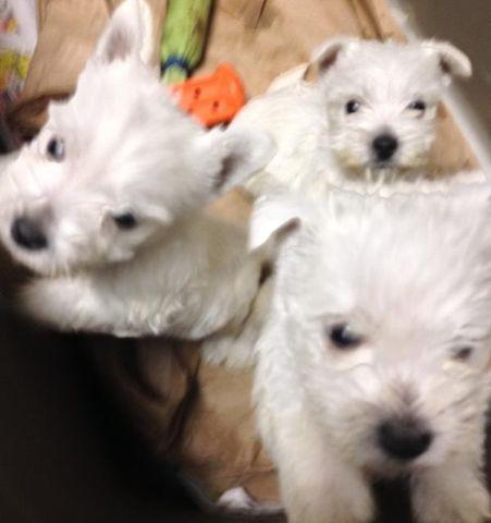 Westie Puppies For Sale In National City Michigan Classified