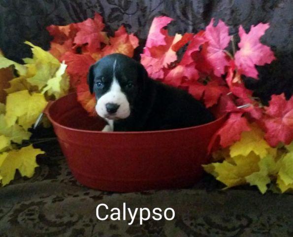 Great Dane Puppies For Sale In Rolla Missouri Classified Hoodbizorg