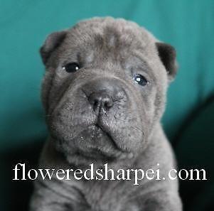 Sharp-Pei puppies