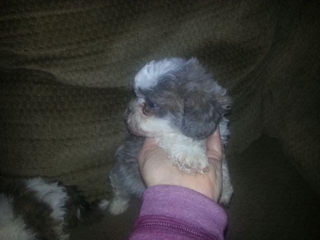 Malteseshih Tzu Puppies For Sale In Lake White Ohio Classified