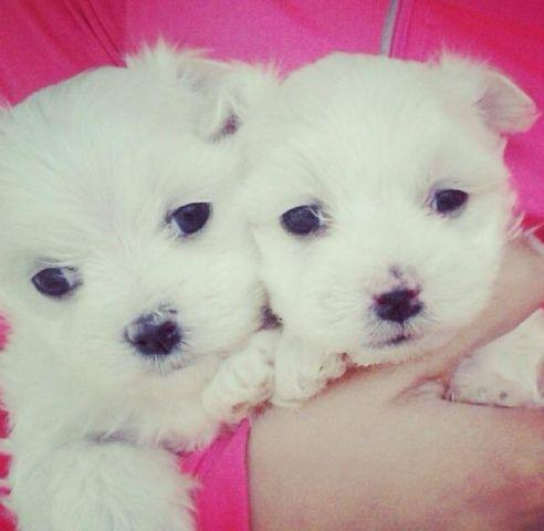 Female maltese puppies