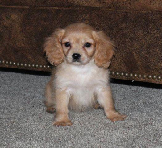 Adorable Cavapoo Puppies! for Sale in Andover, Minnesota
