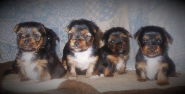 morkie puppies for Sale in Beverly Hills, Florida Classified
