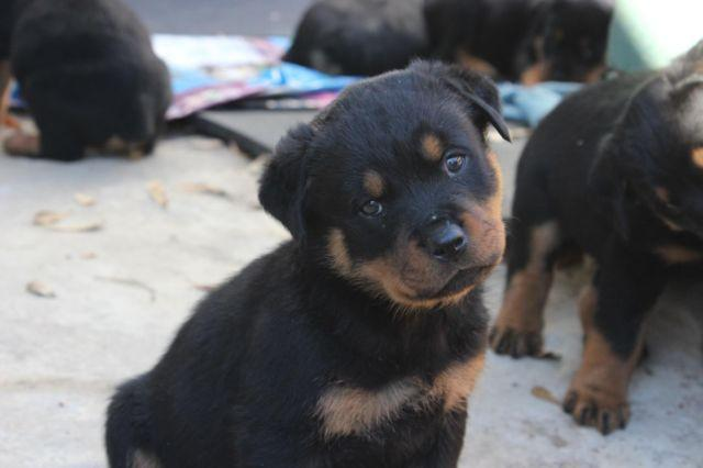 AKC ROTTWEILER PUPPIES for Sale in Gladewater, Texas Classified