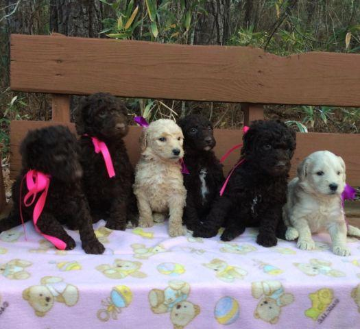 F1b goldendoodle puppies for Sale in Jacksonville, North