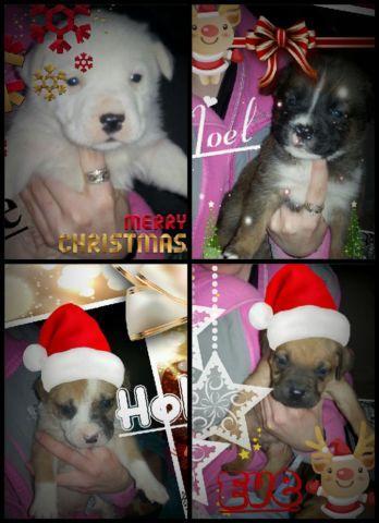 Retriever/Husky mix puppies