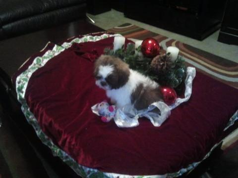 Shih-Tzu puppies for Sale in Am Qui, Tennessee Classified