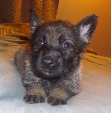 German Shepherd Puppies for Sale in West Farmington, Ohio