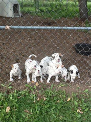 American Bulldog Puppies!!