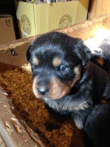 AKC Rottweiler Puppies for Sale in Somerset, Kentucky