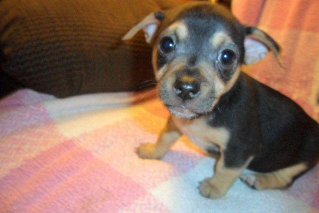 Ckc Chihuahua Puppies For Sale In Rockingham North Carolina