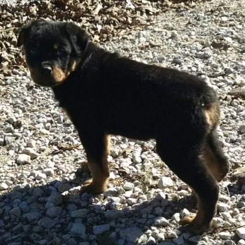 AKC Rottweiler Puppies