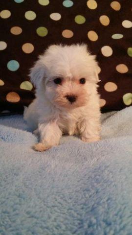Maltese Puppies for Sale in Rockford, Illinois Classified