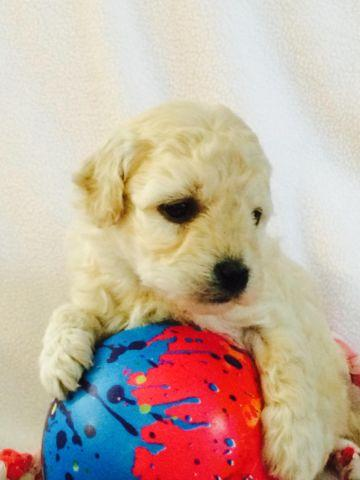 Mini Goldendoodle puppies for Sale in London, Ohio Classified