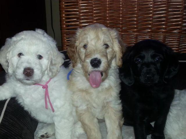 Mini Labradoodle puppies for Sale in Boyd, Wisconsin
