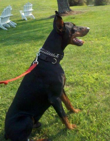 doberman puppies for Sale in Laconia, New Hampshire