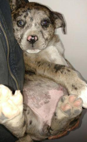 Catahoula leopard puppies!! for Sale in Conroe, Texas