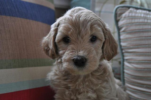 Mini Goldendoodle Puppies for Sale in Port Huron, Michigan