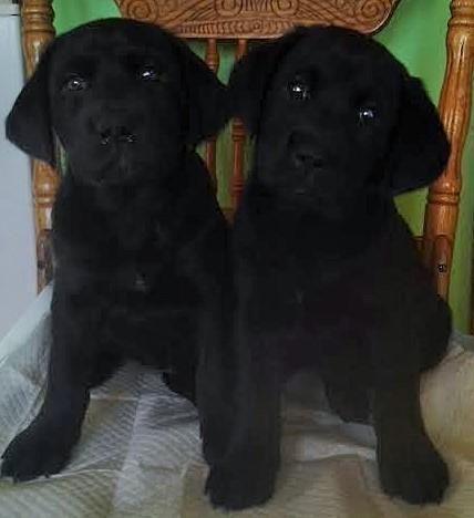 Gorgeous Lab-Rottweiler Puppies for Sale in Stanton, Michigan