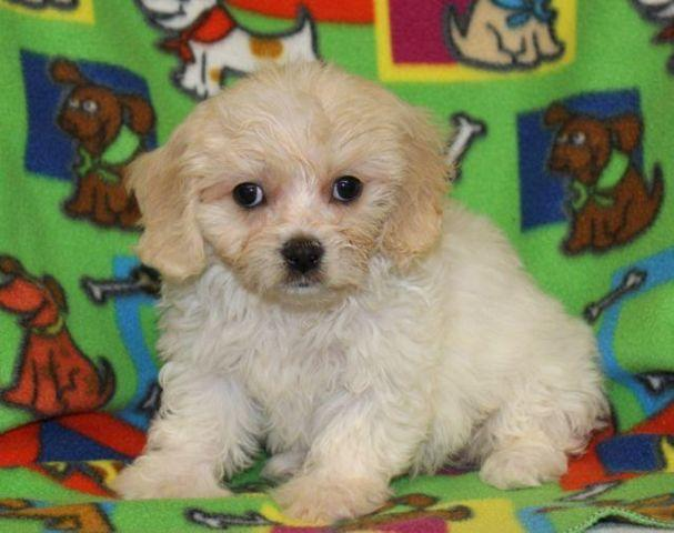 Cavachon Puppies! for Sale in Andover, Minnesota Classified
