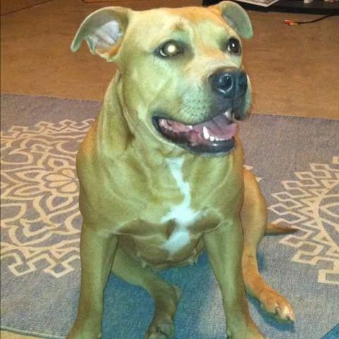 pitbull puppies for Sale in Harrisburg, Pennsylvania