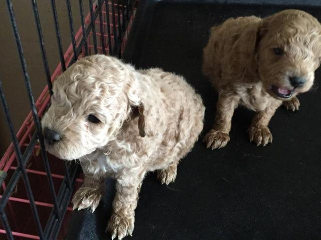 Toy Poodle Puppies For Sale In Hometown Pennsylvania