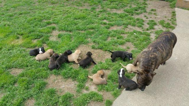 Pitbull Puppies For Sale In Petersburg Virginia Classified