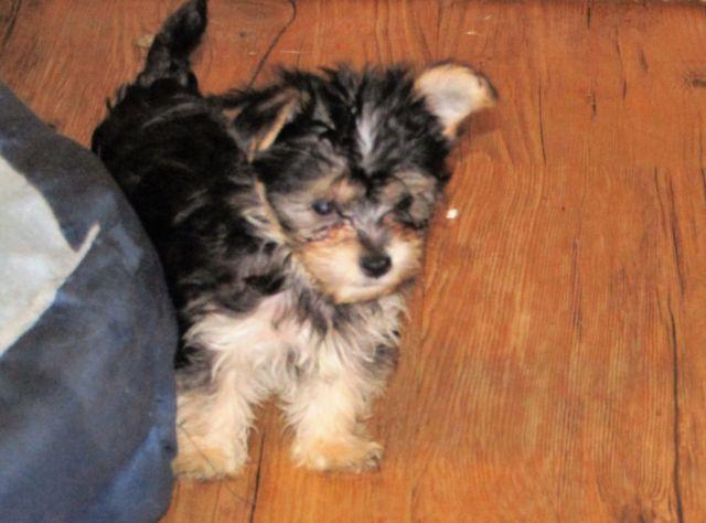 morkie puppies for Sale in Washingtn C H, Ohio Classified