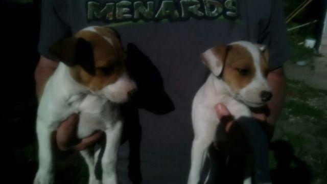 Feist Puppies