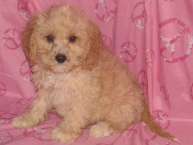 Cockapoo Puppies for Sale in New Richland, Minnesota