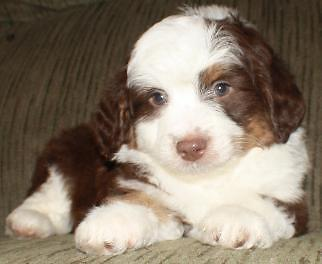 Miniature Aussiedoodle Puppies For Sale In Rice Washington