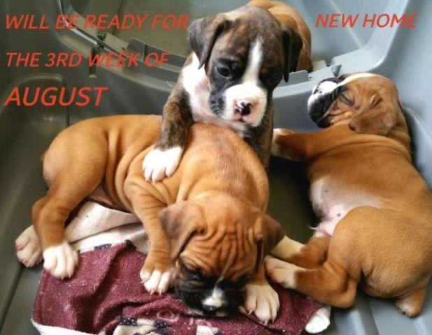 BOXER PUPPIES for Sale in Rockville, Maryland Classified