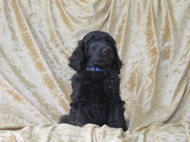Standard Poodle Puppies for Sale in Verona, Missouri