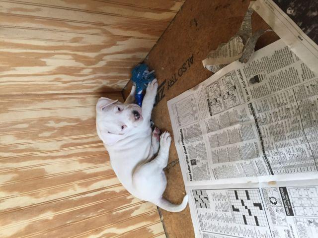 Dogo argentino puppies for Sale in Allensburg, Ohio Classified
