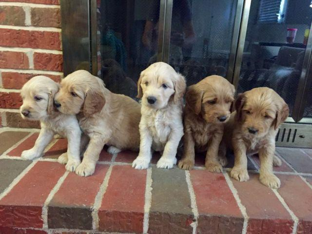 Goldendoodle Puppies For Sale In Memphis Tennessee Classified