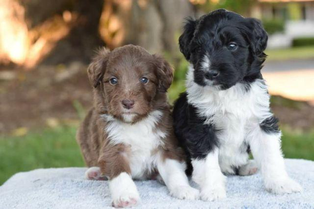 Bordoodle Puppies for Sale in Gaston, Oregon Classified