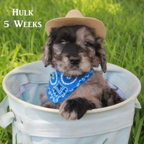 Goldendoodle F1b Puppies for Sale in Garland, Texas