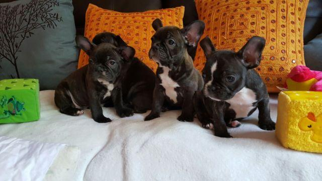 French Bulldogs Puppies For Sale In Edgewater New Jersey Classified