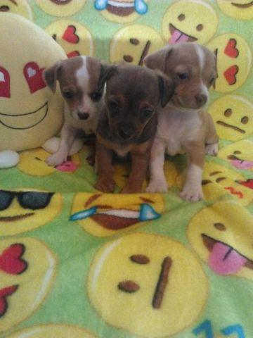 TEACUP Chihuahua Puppies! for Sale in Clinton, Maryland Classified