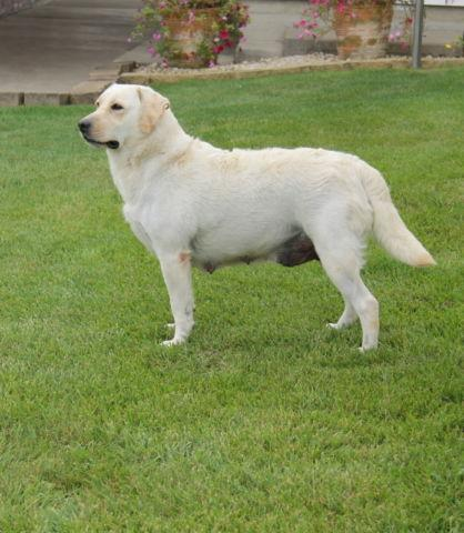 AKC LAB PUPPIES for Sale in Grabill, Indiana Classified