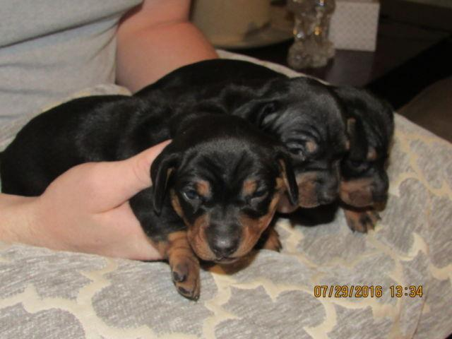 Miniature Dachshund Puppies For Sale In Starke Florida Classified