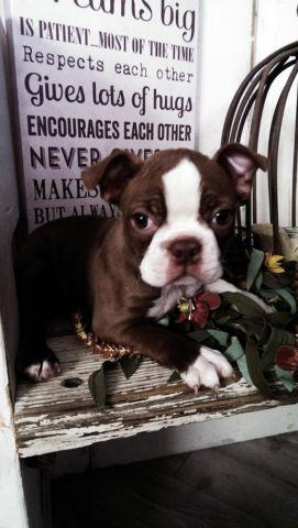 ABSOLUTLY BEAUTIFUL Boston Terrier puppies 9 weeks